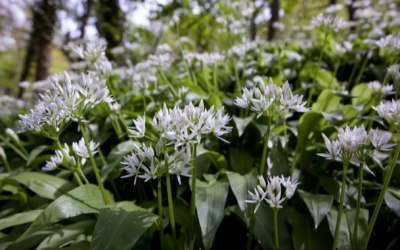 Going Wild for Wild Garlic