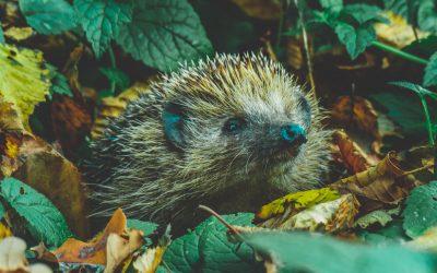 Want to hug a hedgehog?
